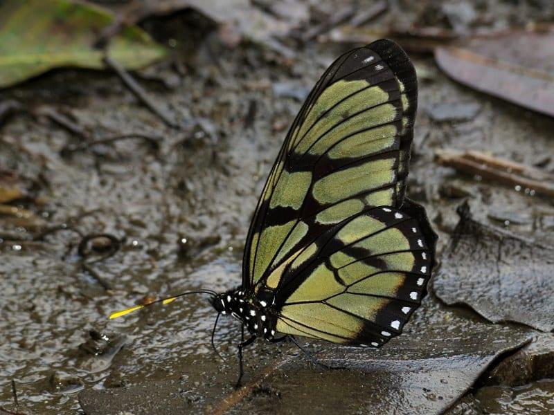 Phénarète, un papillon en plus d'être la mère de Socrate !
